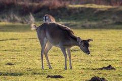 Deer Grazing Stock Photo