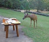 Deer grazing at buffet. Black-tailed deer choosing appetizers in Galice, Oregon stock image