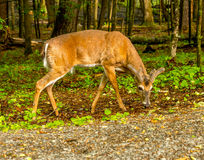 Deer grazing Cades Cove. Great Smoky Mountain National Park Royalty Free Stock Photos
