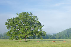 Deer Grazing in Cades Cove Royalty Free Stock Images