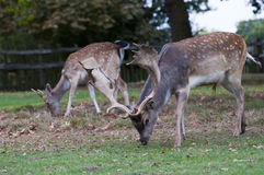 Deer  grazing at Charlecote Park Royalty Free Stock Images