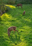 Deer Grazing at Dusk Royalty Free Stock Photography