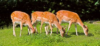 Deer grazing on field Stock Photo