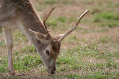 Deer Grazing in a Field. A Deer with antlers grazes in a field Royalty Free Stock Images