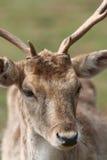 Deer Grazing in a Field. A Deer with antlers grazes in a field Stock Image