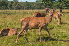 Deer grazing in field Royalty Free Stock Photography