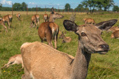 Deer grazing in field Stock Photography