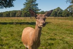 Deer grazing in field Royalty Free Stock Photos