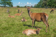 Deer grazing in field Royalty Free Stock Images
