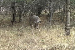 Deer grazing in a forest. White tailed deer grazes in a grassy forest; overcast light stock footage