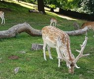 Deer grazing on grass with antlers. Male brown and white spotted deer with antler horns eating grass around a fallen tree trunk with other deer royalty free stock photo