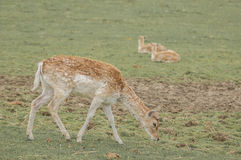 Deer. Grazing on a grass land of game reserve Stock Photography
