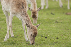Deer. Grazing on a grass land of game reserve Royalty Free Stock Photos