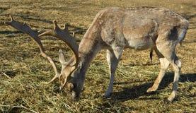 Deer grazing hay Stock Image