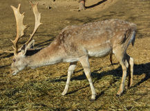 Deer grazing hay Royalty Free Stock Photography