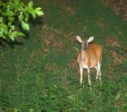 Deer grazing Royalty Free Stock Image