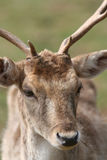 Deer Grazing In A Field Stock Image