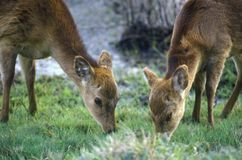 Deer Grazing In Morning, Assateague National Wildlife Refuge, MD Stock Image