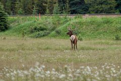 Deer grazing on the meadow Royalty Free Stock Photos