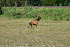 Deer grazing on the meadow Royalty Free Stock Images