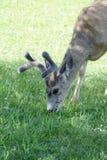 Deer grazing Stock Photos