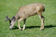 Deer grazing Stock Photography
