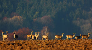 Deer. Grazing in a meadow near the forest Stock Photography