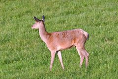 Deer grazing on the meadow Royalty Free Stock Photography