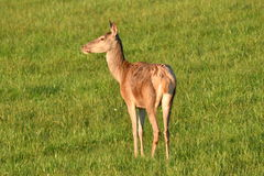 Deer grazing on the meadow Royalty Free Stock Image