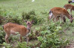 Deer grazing in the mountains royalty free stock photos
