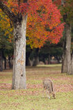 Deer grazing in Nara park Royalty Free Stock Photo