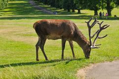 Deer grazing in the park stock photography