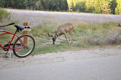 Deer grazing at roadside. A deer grazing at the side of the road in Yosemite Valley stock photo