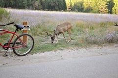 Deer grazing at roadside Stock Photo