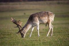 Grazing deer Stock Photography