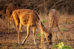 Solo deer. Deer grazing in the sunset at bandipur Royalty Free Stock Photography