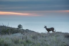 Deer grazing at sunset with ocean in background royalty free stock images