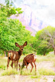 Deer Grazing on Wildflowers in Zion Canyon Royalty Free Stock Photo