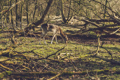 Deer grazing in a woodland clearing Royalty Free Stock Images