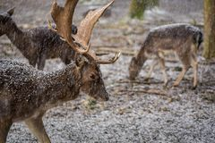 Deer with a great antler in the forest on a snowy day. Deer with a antler in the forest on a snowy day stock photos