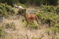 Deer in greek mountain. Deer,Greece,wildlife,mountain,parnitha Royalty Free Stock Images