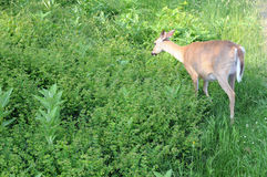 Deer in green. Solitary deer munching in deep green grasses royalty free stock photography