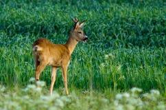 Deer in green field Royalty Free Stock Photo