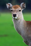 Deer on a green field Royalty Free Stock Photos