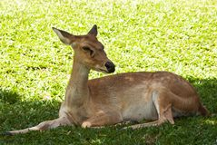 Deer on green grass Stock Image