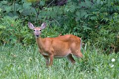 Deer in green grass Royalty Free Stock Image