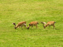 Deer on a green meadow Royalty Free Stock Image