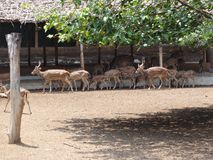 Deer group at garden for going for eating grass. This photo is from zoo of ooty, while i have visit ooty zoo Royalty Free Stock Images