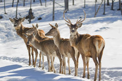 Deer group Stock Image