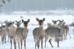 Deer Stock Photography